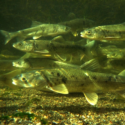 淡水鱼评估